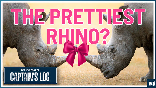 The Prettiest Rhino - The Captain's Log 94